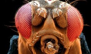 micrograph of fruit fly